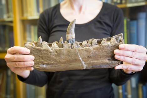 The jaw of the first named dinosaur, Megalosaurus bucklandii, found in Stonesfield, Oxfordshire
