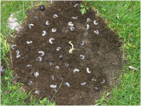 Larvae in dung pile