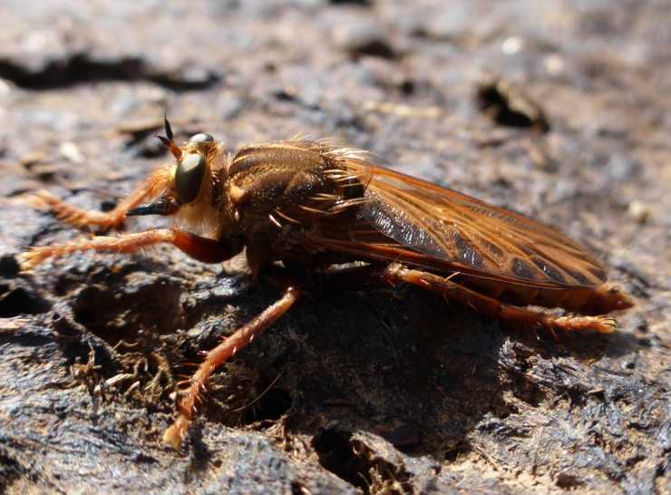 Mustachioed Robber Fly