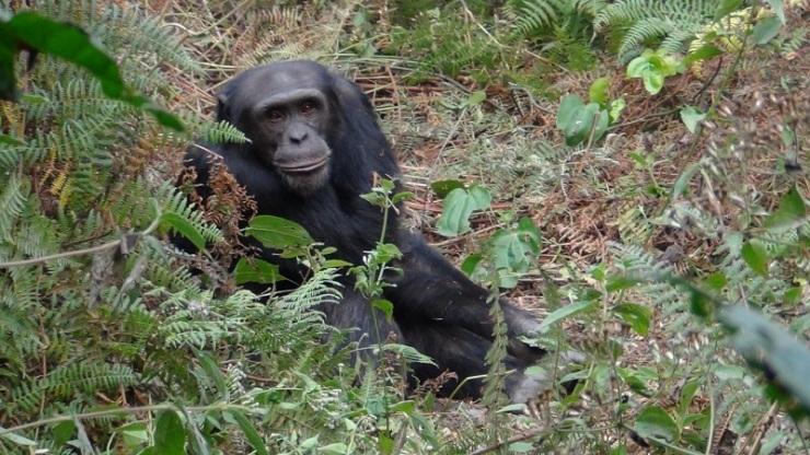 Wild chimpanzee at Bossou, Guinea. Photo by Michael Haslam.