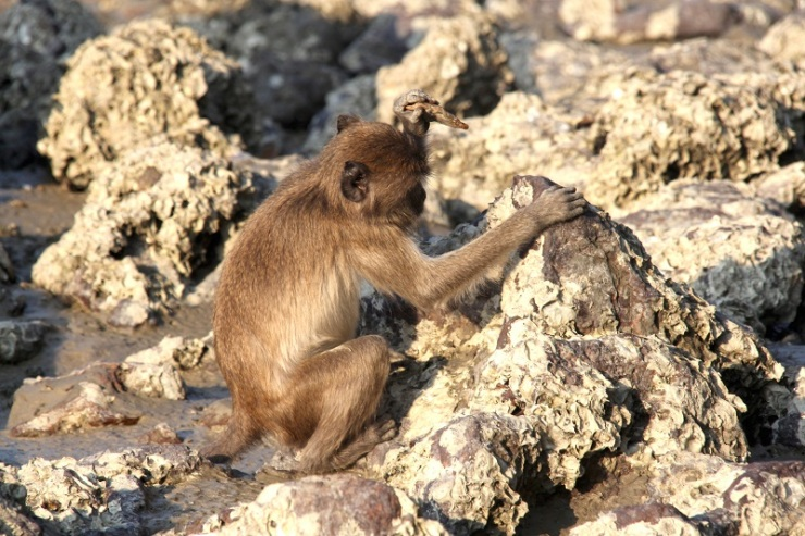 Wild long-tailed macaque using a stone tool at Laem Son National Park, Thailand. Photo by Michael Gumert.