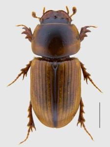 Aphodius lividus