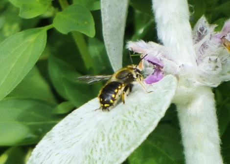 Male Wool Carder Bee on Lamb's ear in the Museum's front garden