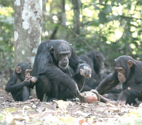 Chimpanzees using both a hammerstone and anvil to crack open nuts. Photo Credit: Haslam et al, 2009