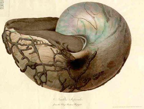 Nautilus Imperialis print