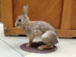 Example animal used in the research - Oryctolagus cuniculus and the toy rabbit