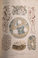 Illustrated plate from the Report on the Deep-Sea Keratosa from the HMS Challenger by Ernst Haeckel