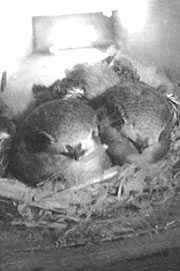 Swifts in the tower nests as seen on webcam