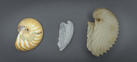 The three different kinds of 'nautilus shells' from left to right chambered nautilus Nautilus, glassy nautilus Carinaria and paper nautilus Argonauta.