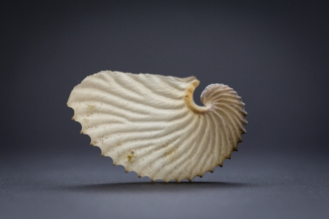 The fragile 'paper nautilus' the egg case and brooding chamber of an argonaut, Argonauta.