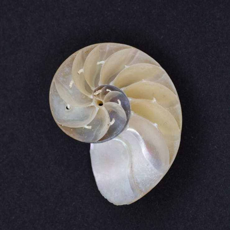 Bisected young Nautilus shell showing the internal chambers. The small tubes along the middle of the chamber walls is where the siphuncle runs, a structure that moves fluid and gas in the chambers.
