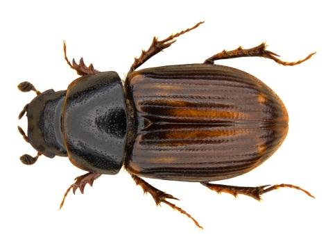Melinopterus punctatosulcatus edit