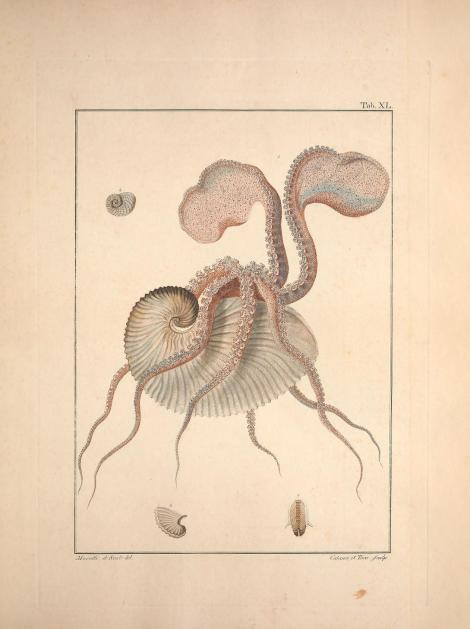 External morphology of a female paper nautilus (Argonauta argo) with egg case. Poli, Giuseppe Saverio. Testacea utriusque Siciliae. (1791-1827).