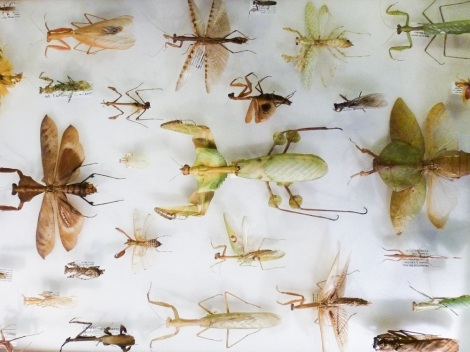 Display of different mantis species