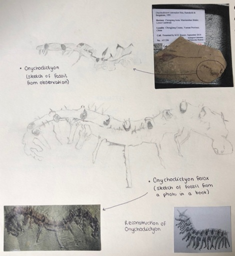Abigail Harris - sketches for artwork showing reconstruction of Cambrian ocean animal life