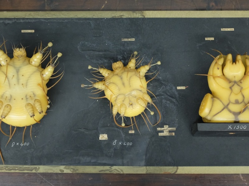 Wax models of magnified mites mounted on a black board