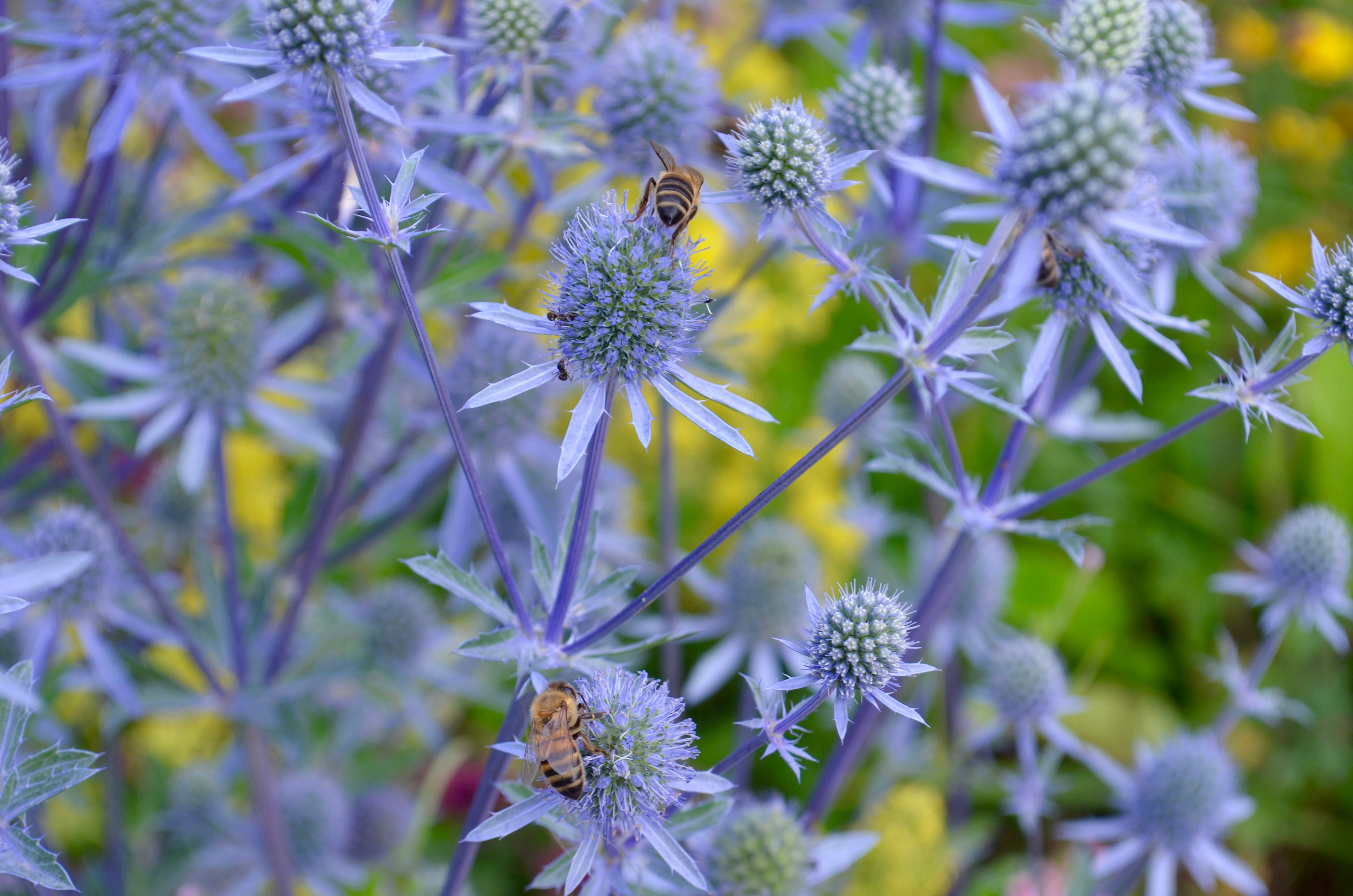 Purple plants with bees
