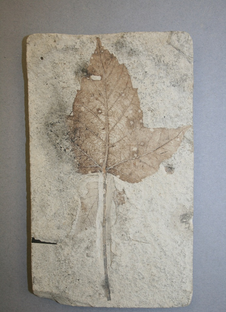 Fossil leaf imprint on pale stone