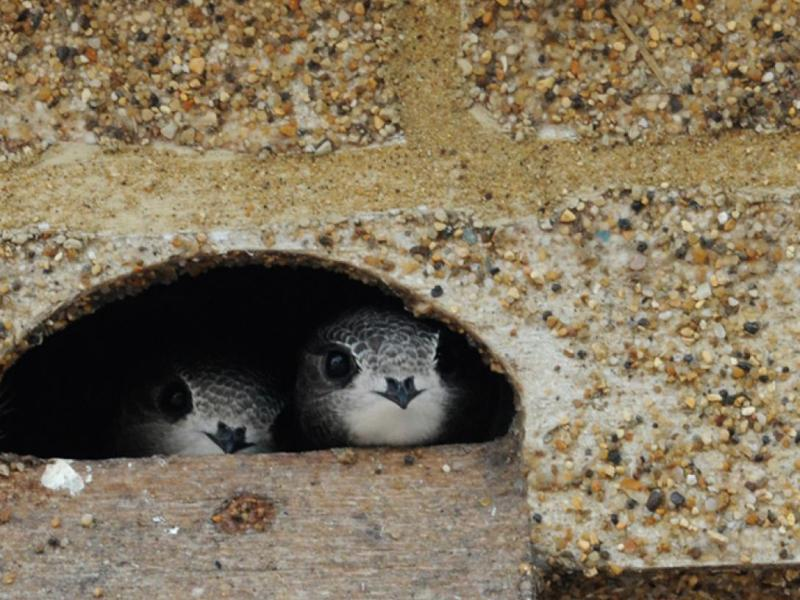 two swifts looking out from their nesting area