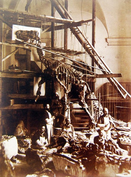 Sepia photograph of dinosaur skeleton supported by frames and scaffold