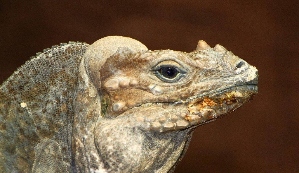 Close up photo of iguana head